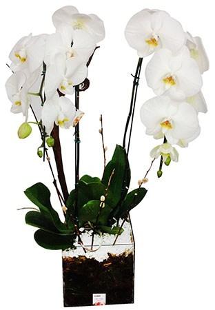 1733 MEGA Phalaenopsis