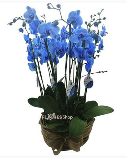 2574 Jardim de Orquídeas Azuis