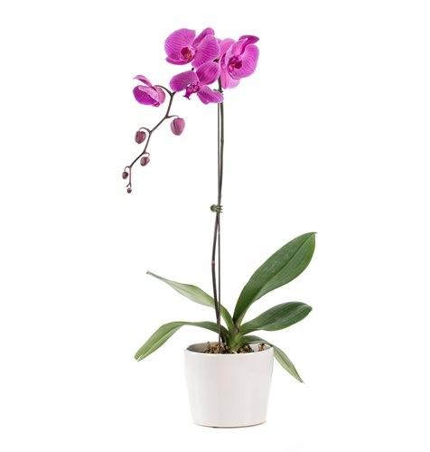 2845 Orquídea phalaenopsis Lilás