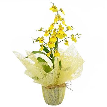 3194 Orquídea Chuva de Ouro