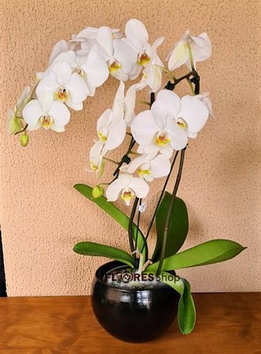 4598 Orquídea Charme